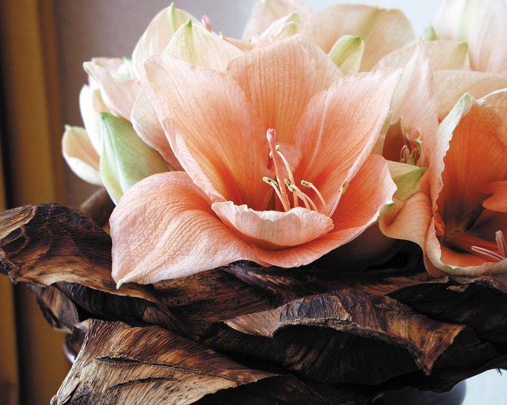 Meer Amaryllis op www.mooiwatbloemendoen.nl. #amaryllis #bloem #flower