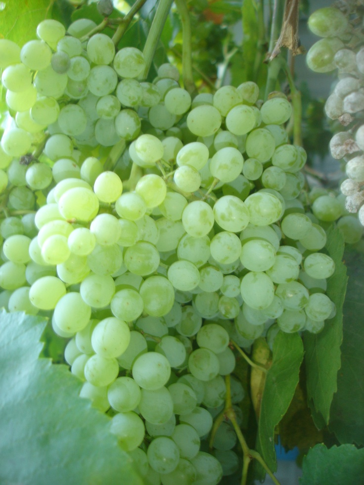1000 images about thompson seedless grapes on pinterest sweet backyards and muscat - Seedless grape cultivars ...
