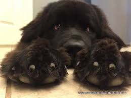 Image result for newfoundland puppies