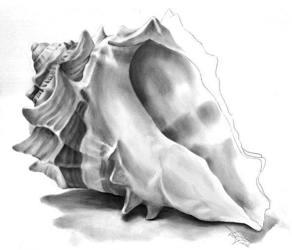 Black and White Seashells Drawings | Frances Fawcett finds it tough to sketch when your subject is nibbling ...