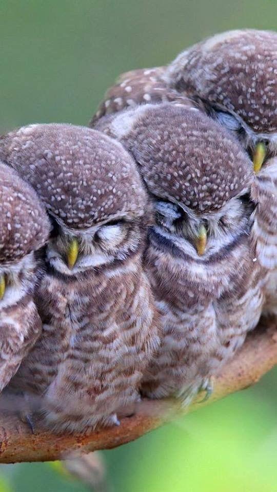 Sleepy Baby Owls Owl Birds Animals Beautiful