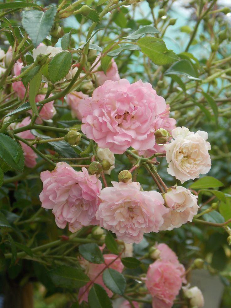 ruže stablašice Fairy