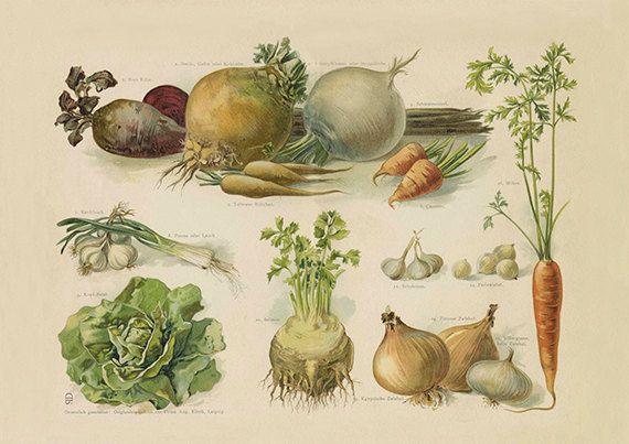 Tuin groenten Art Print - Vintage botanische illustratie - wetenschap kunst aan de muur - Museum kwaliteit