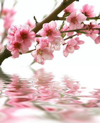 fleurs de cerisiers                                                                                                                                                                                 Plus