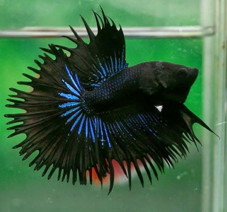 72 best images about fighter fish betta on pinterest for Best betta fish