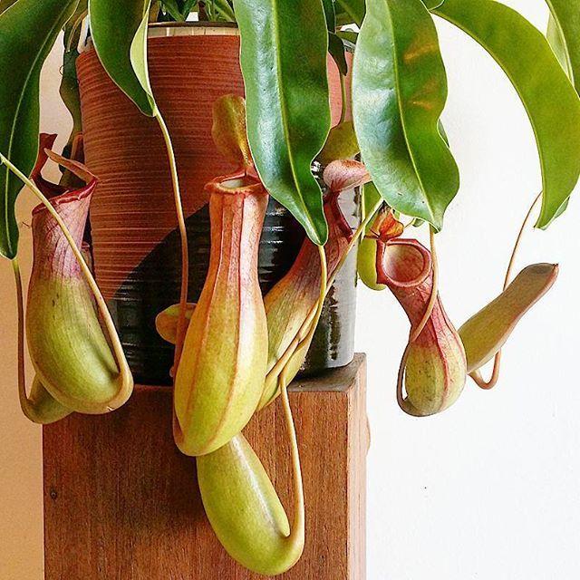 New Arrival • Nepenthes #nepenthes #pitcherplant #carnivorousplant #carnivorous #bugeater #bloomroomvancouver #bloomroombotanicalgallery #oscarandkennedyceramics #oscarandkennedy #locallymade #madeineastvan #eastvanplantshop #mountpleasantplantshop #fraserhoodplantshop #vancouverplantshop #eastvan #mountpleasant #fraserandkingsway #fraserhood #vancouver #yvr