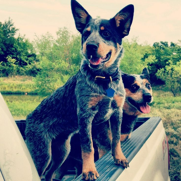 Blue heeler....this is the dog I want my kids to grow up with someday <3