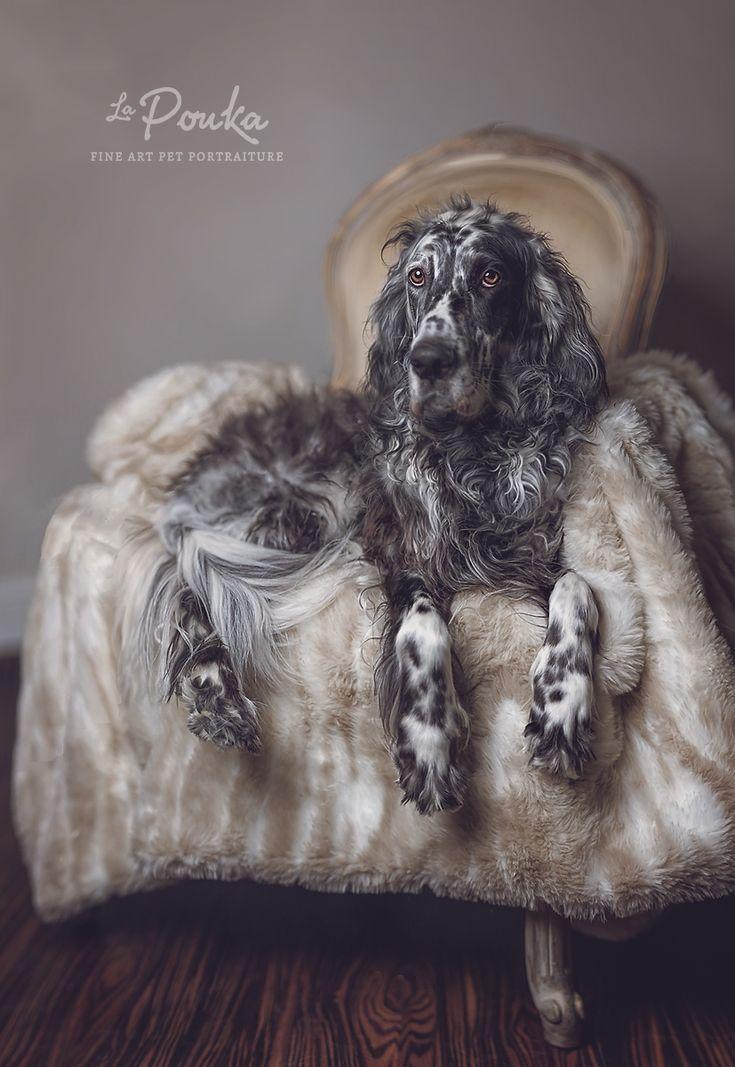 A Ryman English Setter photographed by Pouka Fine Art Pet Portraits.