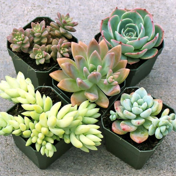 Pastel Succulent Collection (5) - Mountain Crest Gardens