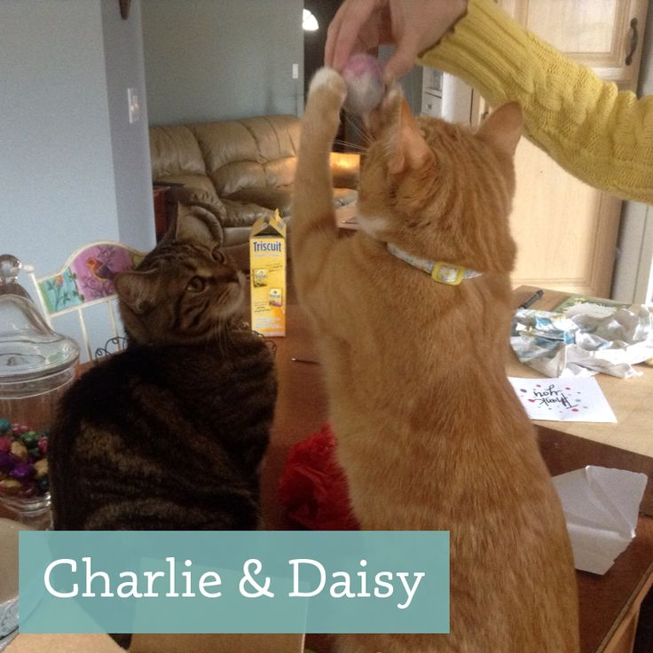 Charlie and Daisy love to play with our alpaca wool cat toys! http://etsy.me/1AYUxtl
