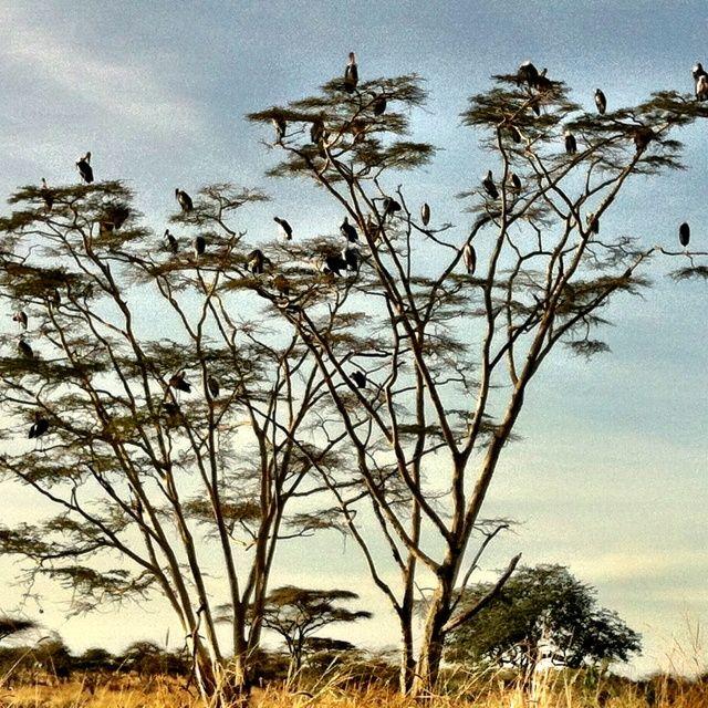 jewel of the serengeti   Serengeti #safari
