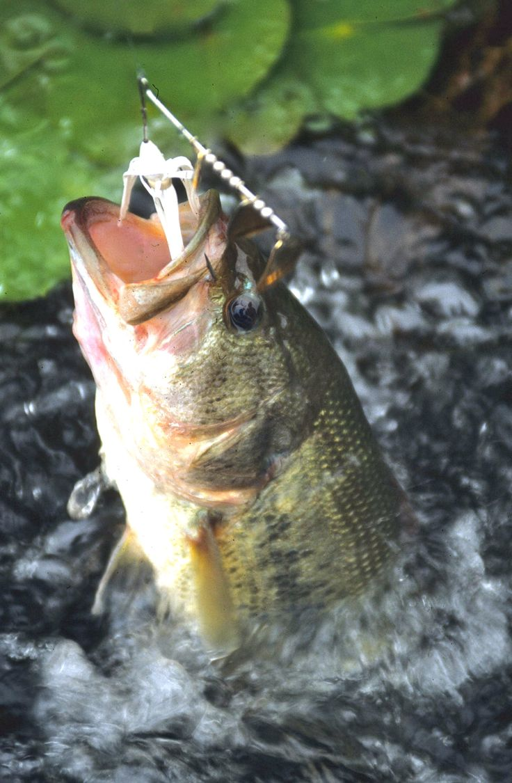 641 best images about bass fishing on pinterest fishing for Best bass fishing near me