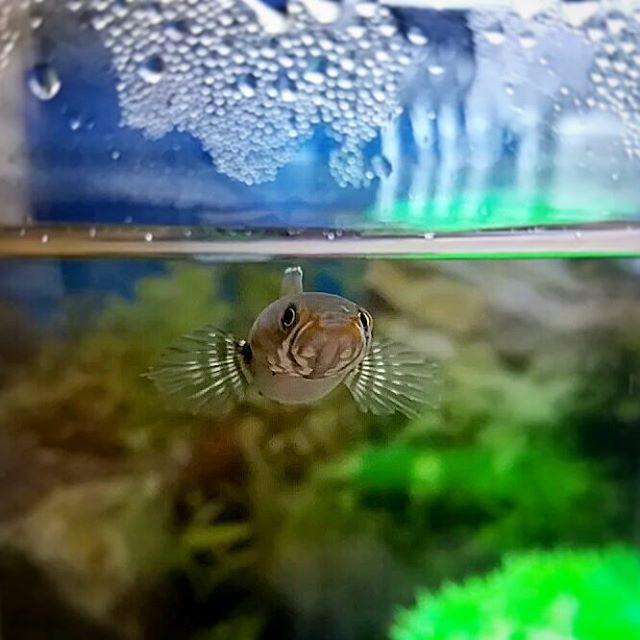 【enjoy_aqua】さんのInstagramをピンしています。 《『スネ夫』 今、あげますよ😁 餌待ち可愛い😆 他の魚のように激しいクレクレではなくて、じーっと見つめてくる😂(笑) #ブルーレインボースネークヘッド #スネークヘッド #ニューレインボースネークヘッド #レインボースネークヘッド #雷魚 #channaandrao #熱帯魚 #淡水魚 #アクアリウム #熱帯魚水槽 #aquarium #fishtank #fishcommunity #tropicalfish》