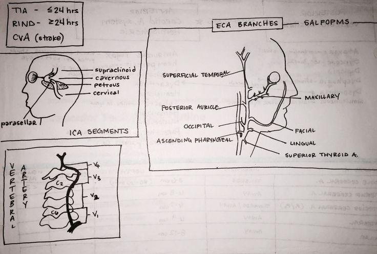 ECA, ICA, vertebral segments | US arteries | Study ...