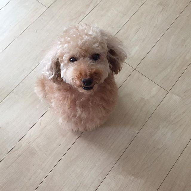 はっ😱とうとうダルマになっちゃった😆 皆様 素敵な1日を✨✨ 昨日は、あたたかいコメント沢山ありがとうございました💕 #トイプードル#トイプードルレッド #toypoodle #ダルマ#可愛い#ワンコ#発作週間 #頑張る犬 #犬#愛犬