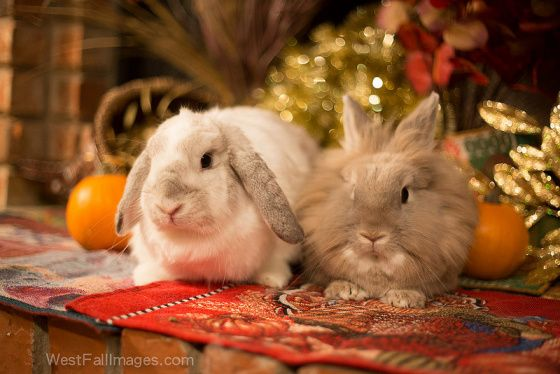 44 best house rabbits perfect home companions images on pinterest house rabbit bunnies and. Black Bedroom Furniture Sets. Home Design Ideas