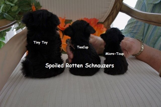Comparing Schnauzer Sizes: tiny toy schnauzer (vs) teacup schnauzer (vs) micro-teacup schnauzer at spoiled rotten schnauzers