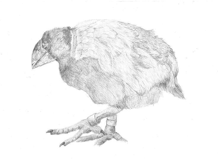 South Island Takahe, Porphyrio hocstetteri