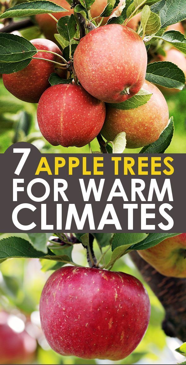Best Apple Trees For Southern Climates Zone 8 10 Low Chill Hours Apple Tree Fruit Trees In Containers Fruit Trees Backyard