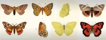 Mariposas chilenas dibujadas por Claudio Gay
