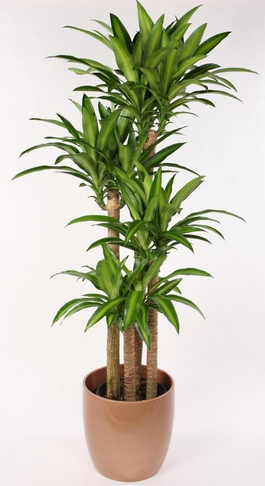 84 best images about folhas dracena on pinterest trees for Plante dracaena