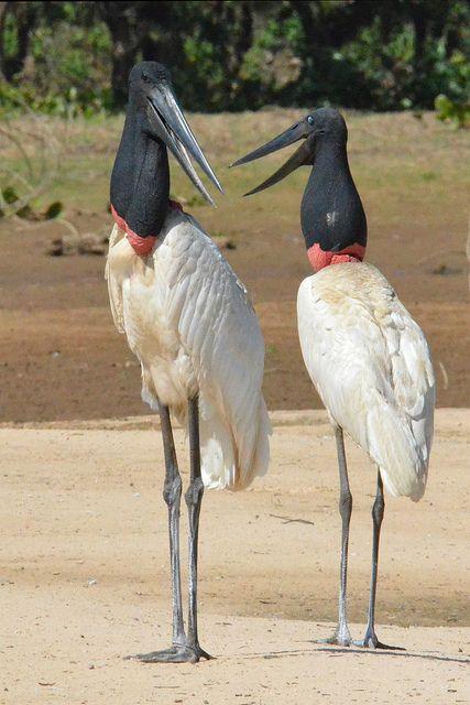 Morning Conversation, Jabiru Storks, Pantanal, Brazil by Ian.Kate.Bruce, via Flickr