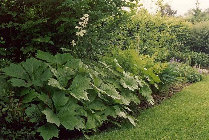 rodgersia podophylla plantes terrain humide pinterest jardins jardin exotique et belle plante. Black Bedroom Furniture Sets. Home Design Ideas