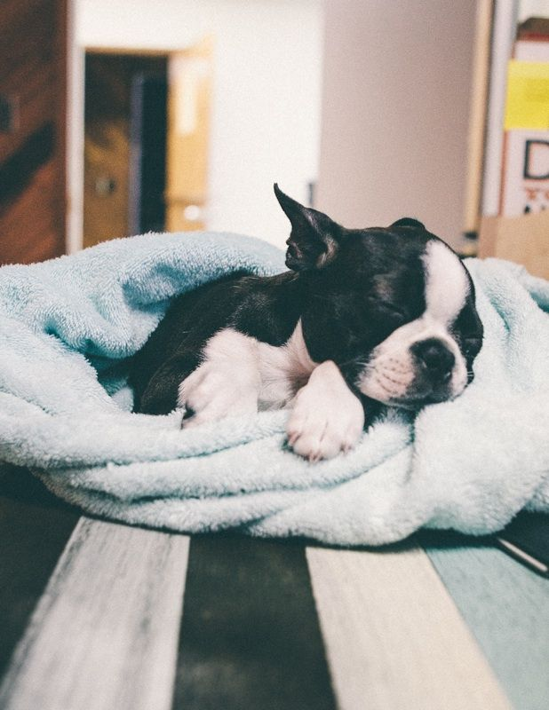 Ella the Boston Terrier