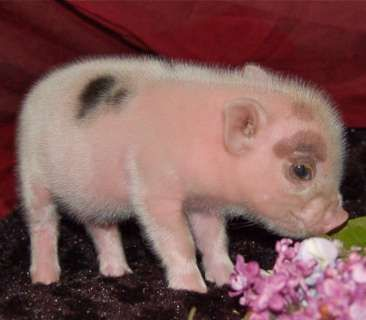 """""""I'M A LITTLE TEACUP PIGGY, SWEET! HERE IS MY SNOUT AND HERE ARE MY FEET!"""" sang the soft piggy."""