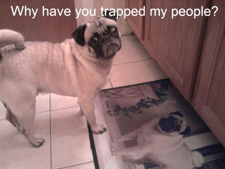 Why have you trapped my people?: Funny Dogs, Funny Pics, Silly Dogs, Funny Pictures, Funny Pugs, Funny Stuff, Funny Animal, Dogs Funny, Pugs Life