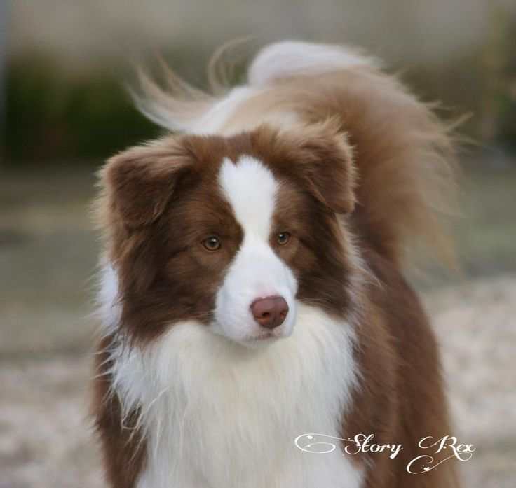 The most beautiful red and white border collie, Sid (Jch.Story Rex El Cid Campeador)