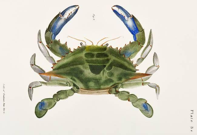 Blue Crab Lupa Decanta Illustration By Vintage Posters In 2020 Vintage Illustration Blue Crab Zoology