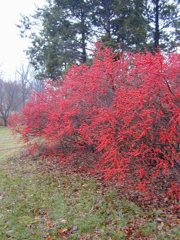 Ilex Verticillata Winter Red Gardening Garden