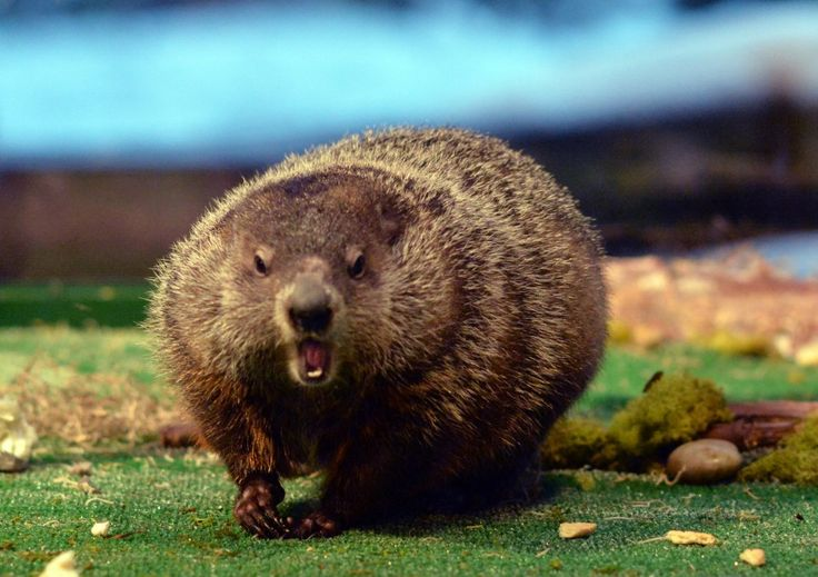 Groundhog Day 2016 live stream: Watch Staten Island Chuck make his prediction | SILive.com