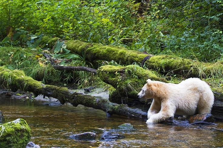 Spirit bear reclining by river, Great Bear Rainforest, BC