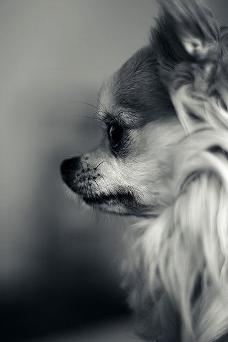 I have a short hair Chihuahua but this would be the next kind I'd get