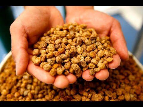 Как посадить земляной миндаль орешки Чуфа. - YouTube
