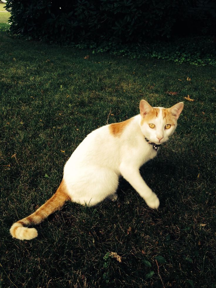 Willard DESCRIPTION White, shorthair cat with gold eyes, orange ears, an orange tail, and an orange spot on his shoulder. Neutered. Weighs 13 lbs. 5 years old. Sneaks into garages, sheds, cars. DATE LAST SEEN April-26-2016 AREA LAST SEEN Glastonbury, CT 06033 ADDRESS LAST SEEN Kenneth Drive, Glastonbury, CT, United States PHONE (860) 965-8657