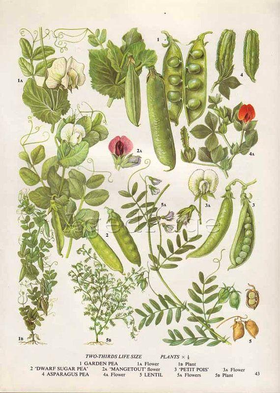 Vintage Botanical Print Food Plant Chart Art