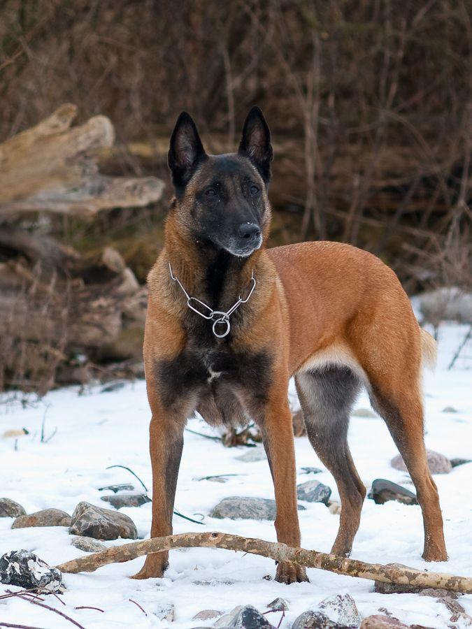 El pastor belga malinois es una de las cuatro variedades de la raza canina de pastor belga. Su nombre proviene de la ciudad belga de Malinas.