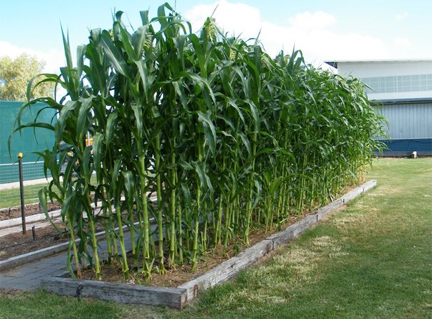 Growing corn as a summertime privacy hedge.