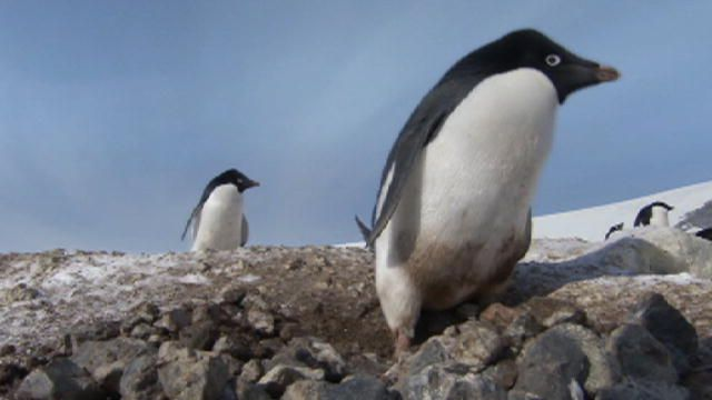 Count down Discovery's Top 10 Penguin Videos, from criminal Adelie penguins to leaping emperor penguins, and even a penguin who has lost its tuxedo.