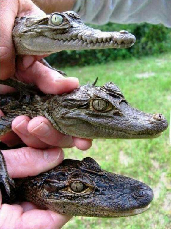 Crocodile, caiman and alligator.