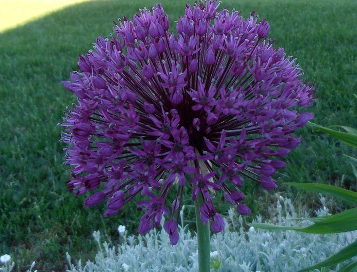 Allium (bulb) - purple head in spring