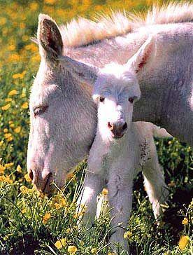 The special donkey on the island of Asinara: asinello-bianco-asinara.jpg. Sardinia, Italy