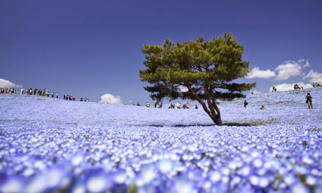 The park has become known for its baby blue-eyes flowers, with the blooming of 4.5 million of the translucent-petaled blue flowers in the spring drawing tourists.