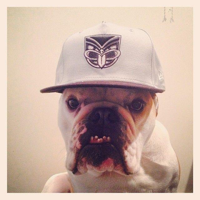 Dog wearing a cap #Dog #Cap #Snapback #Bulldog