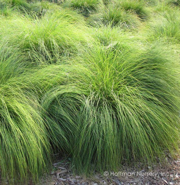 hoffman nursery plants  sporobolus heterolepis  prairie dropseed  planted 2018 by triangle bed