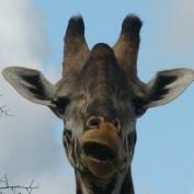 Love this 'talking' giraffe pic we took on safari in Kenya!