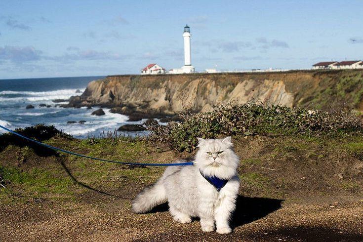 Кот Гэндальф и его незабываемые путешествия. Сибирский кот Гэндальф, проживающий в Калифорнии, ...